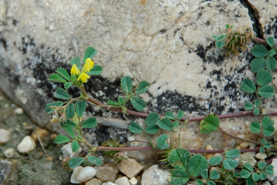Medicago littoralis 3