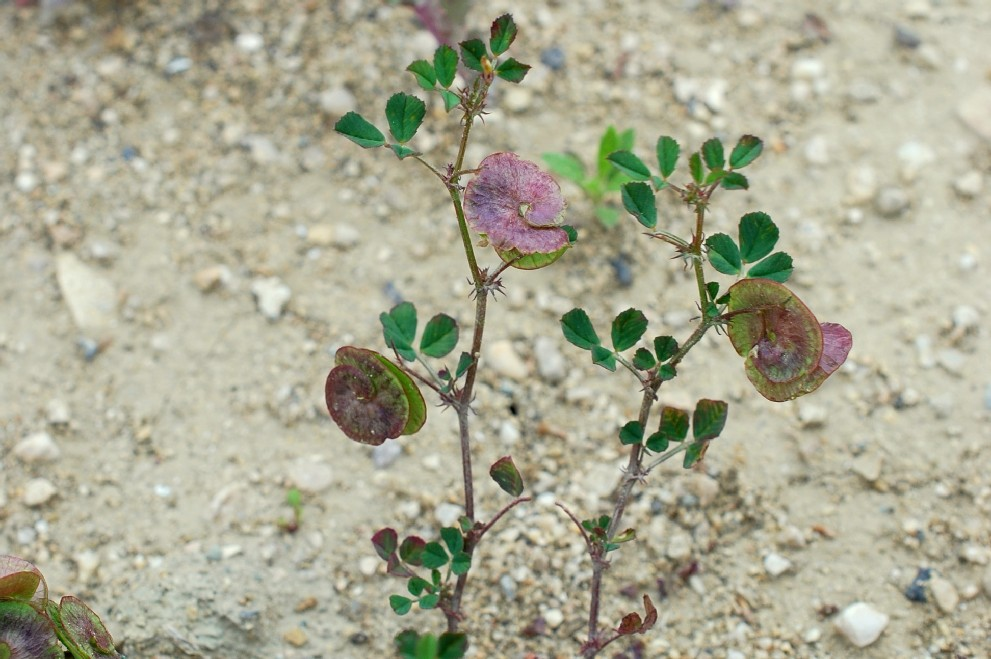 Medicago orbicularis 20