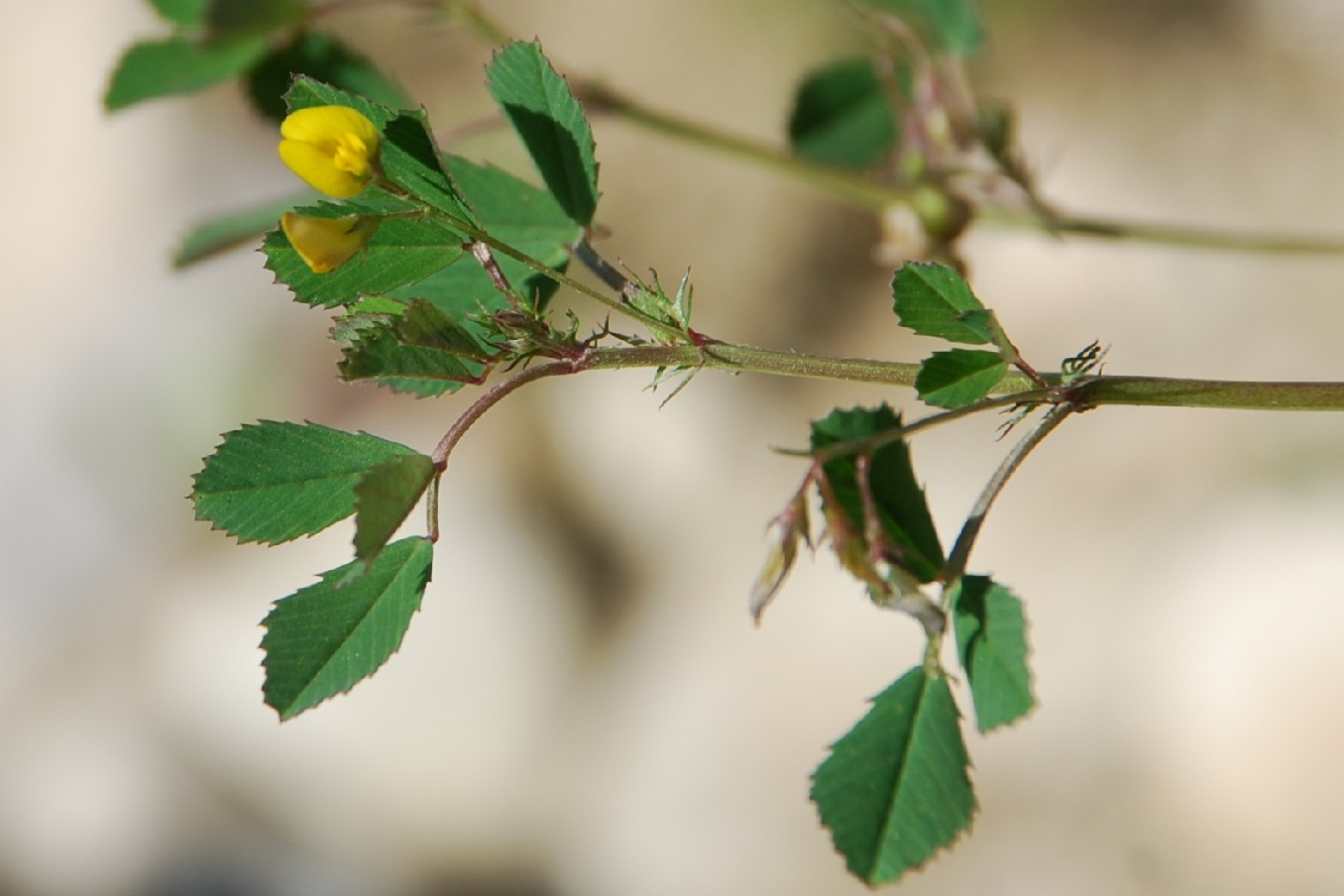 Medicago orbicularis 9