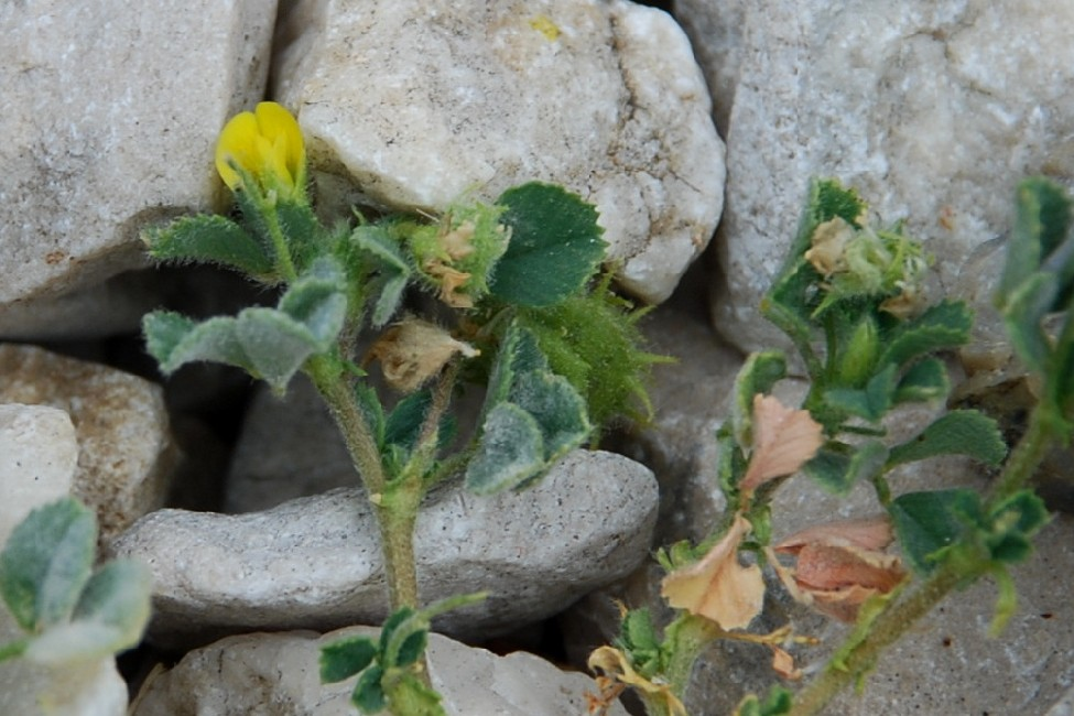Medicago rigidula 6