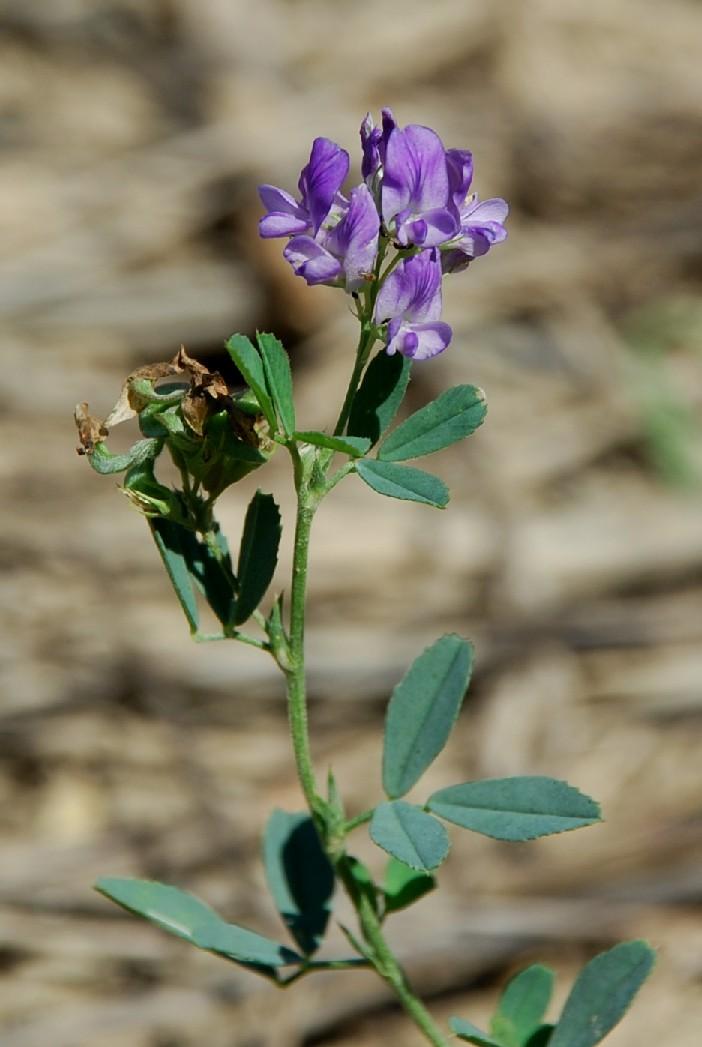 Medicago sativa subsp. sativa 11