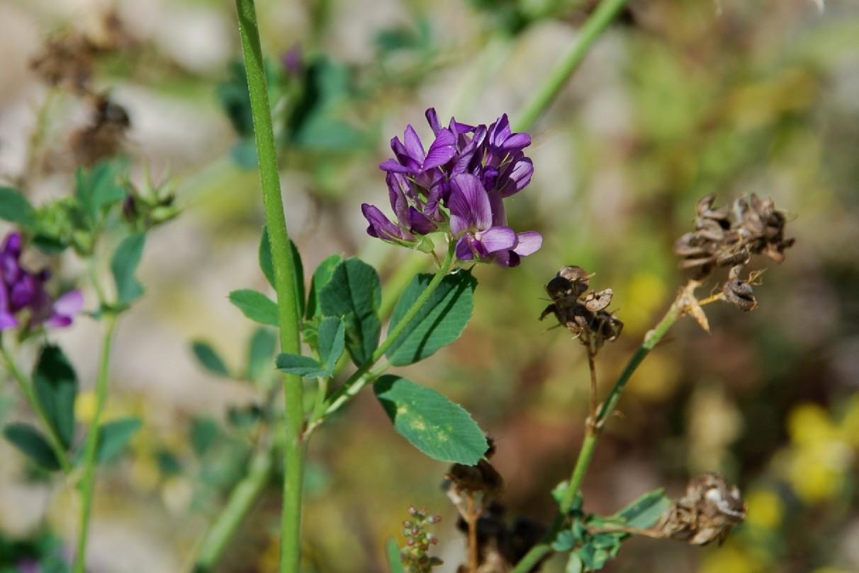 Medicago sativa subsp. sativa 13