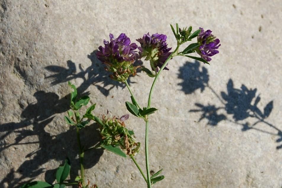 Medicago sativa subsp. sativa 14
