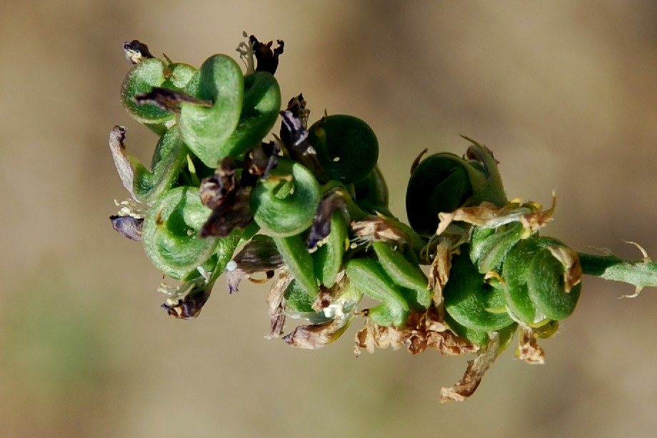 Medicago sativa subsp. sativa 2