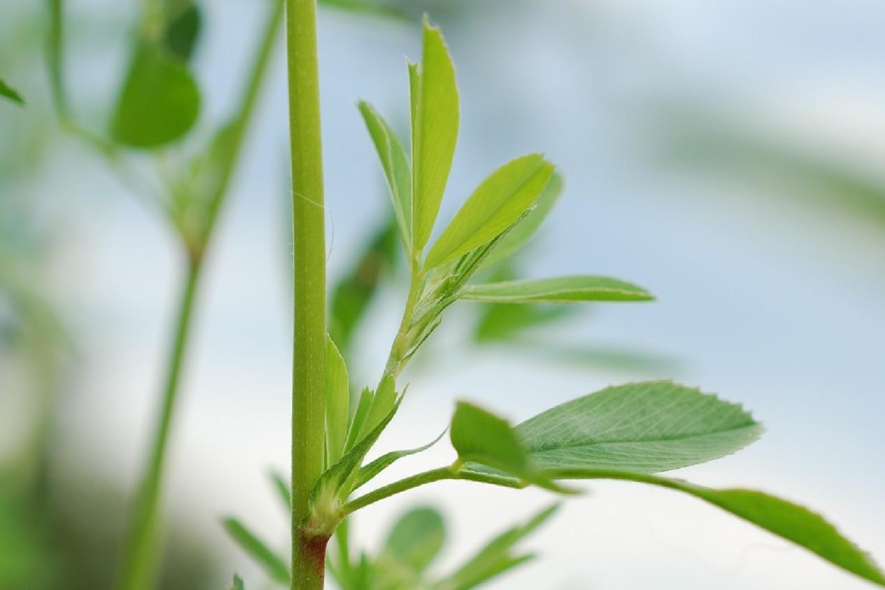 Medicago sativa subsp. sativa 20