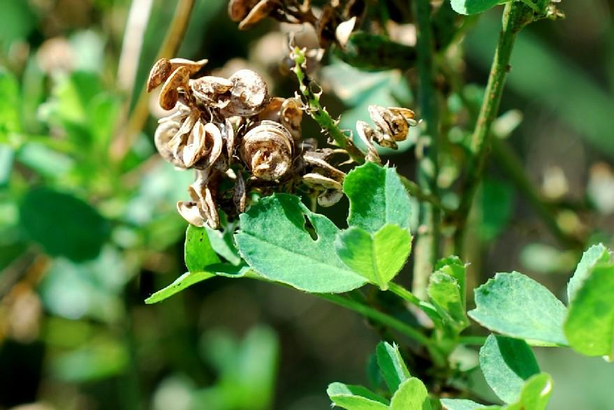 Medicago sativa subsp. sativa 24