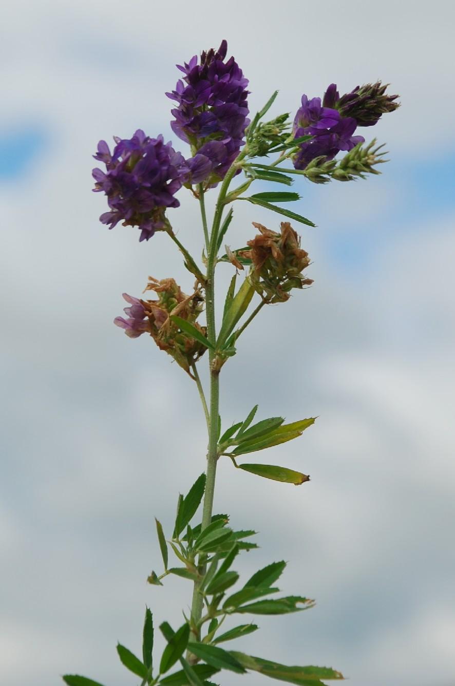 Medicago sativa subsp. sativa 4