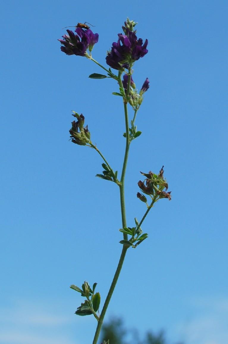 Medicago sativa subsp. sativa 5