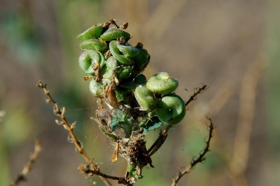 Medicago sativa subsp. sativa 9