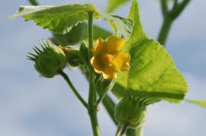 Flora alloctona