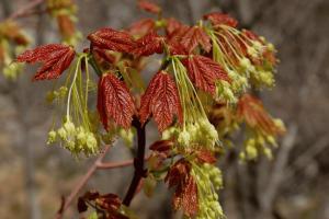 Acer opalus subsp. obtusatum