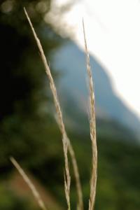 Achnatherum bromoides