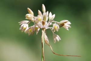 Allium tenuiflorum