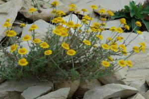 Cota tinctoria subsp. tinctoria