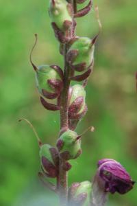 Antirrhinum majus subsp. majus 13