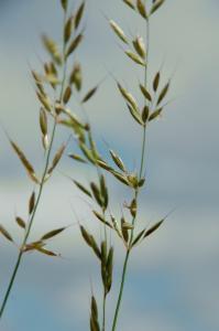 Arrhenatherum elatius subsp. elatius