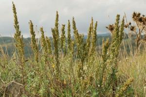 Artemisia caerulescens subsp. caerulescens