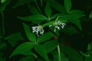 Asperula taurina subsp. taurina