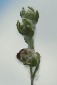 Bombycilaena erecta