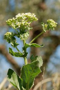 Cardaria draba subsp. draba