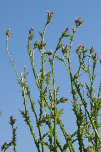 Carduus pycnocephalus subsp. pycnocephalus