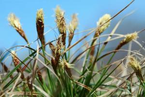 Carex caryophyllea