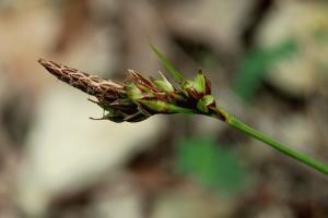 Carex hallerana
