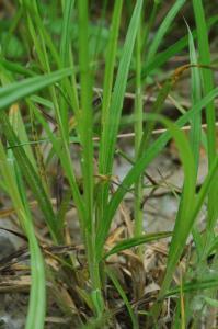 Carex otrubae 16