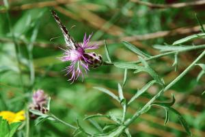 Centaurea ambigua s.l.