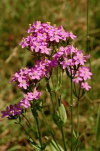 Centaurium erythraea subsp. erythraea