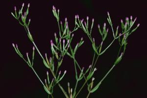 Centaurium pulchellum