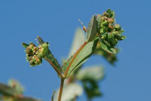 Chamaesyce nutans 2