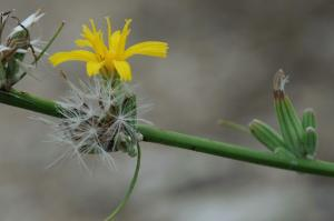 Chondrilla juncea