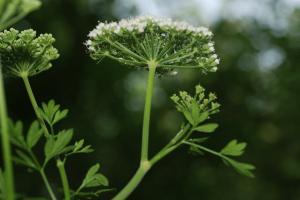 Katapsuxis silaifolia