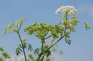 Conium maculatum subsp. maculatum