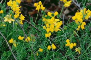 Coronilla minima subsp. minima