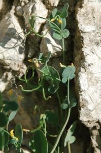 Coronilla scorpioides 15