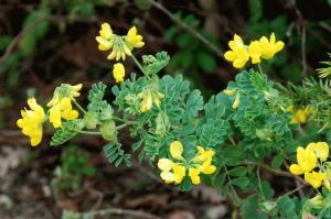 Coronilla valentina subsp. valentina
