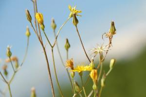 Crepis neglecta subsp. neglecta