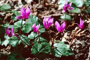 Cyclamen repandum subsp. repandum