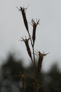 Dianthus ciliatus subsp. ciliatus 11