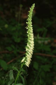 Digitalis lutea subsp. australis