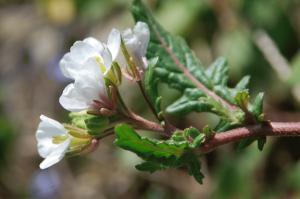 Diplotaxis erucoides subsp. erucoides