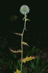 Echinops siculus