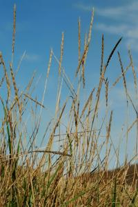 Elytrigia repens subsp. repens