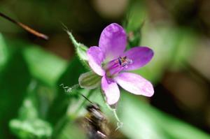 Erodium alnifolium