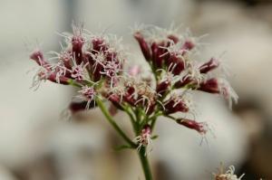 Eupatorium cannabinum subsp. cannabinum