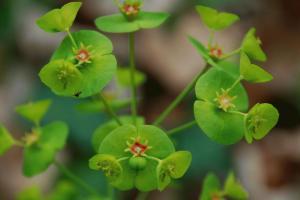 Euphorbia amygdaloides subsp. amygdaloides