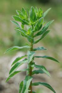 Euphorbia platyphyllos subsp. platyphyllos 17