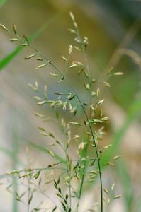 Schedonorus arundinaceus subsp. arundinaceus